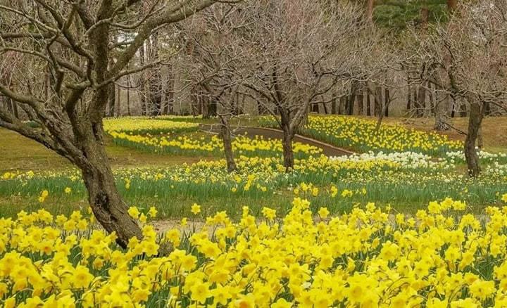 Bunga Narcissus di Hitachi Seaside Park awal April