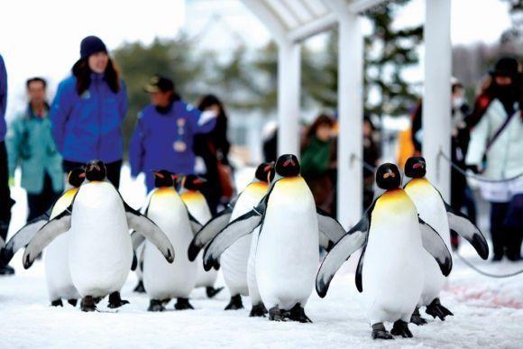 Parade penguin Asahikawa
