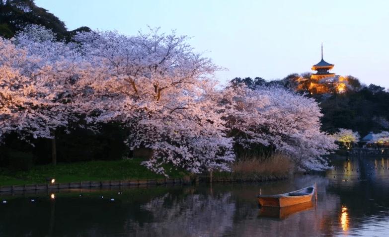 Bunga Sakura Taman Sankeien