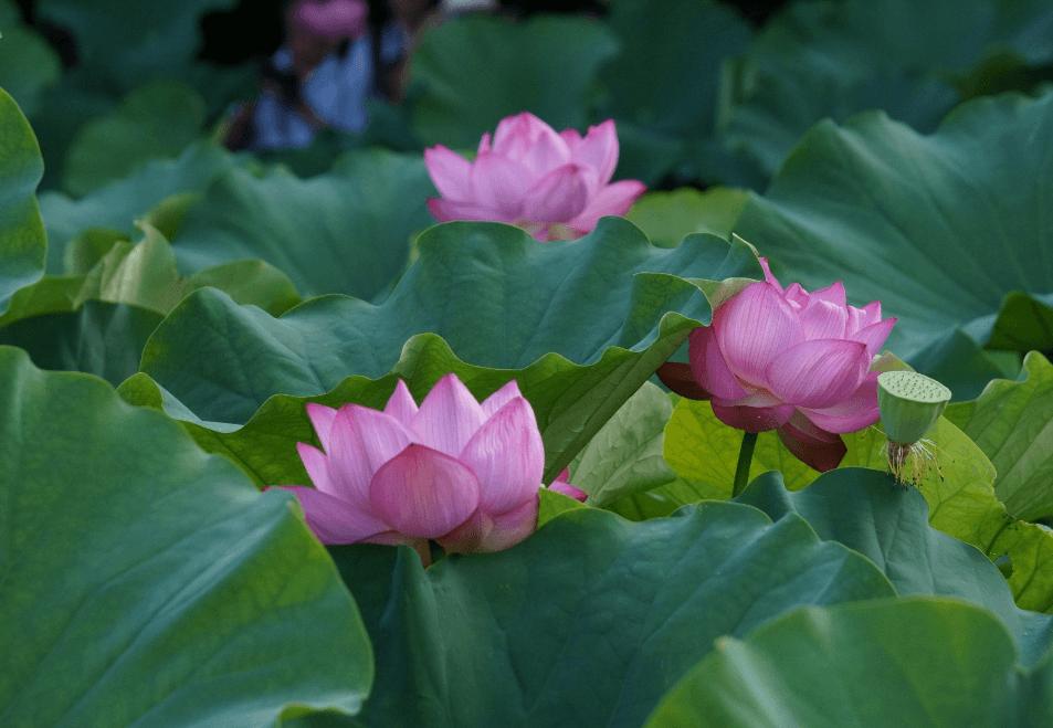 Bunga di Taman Sankeien