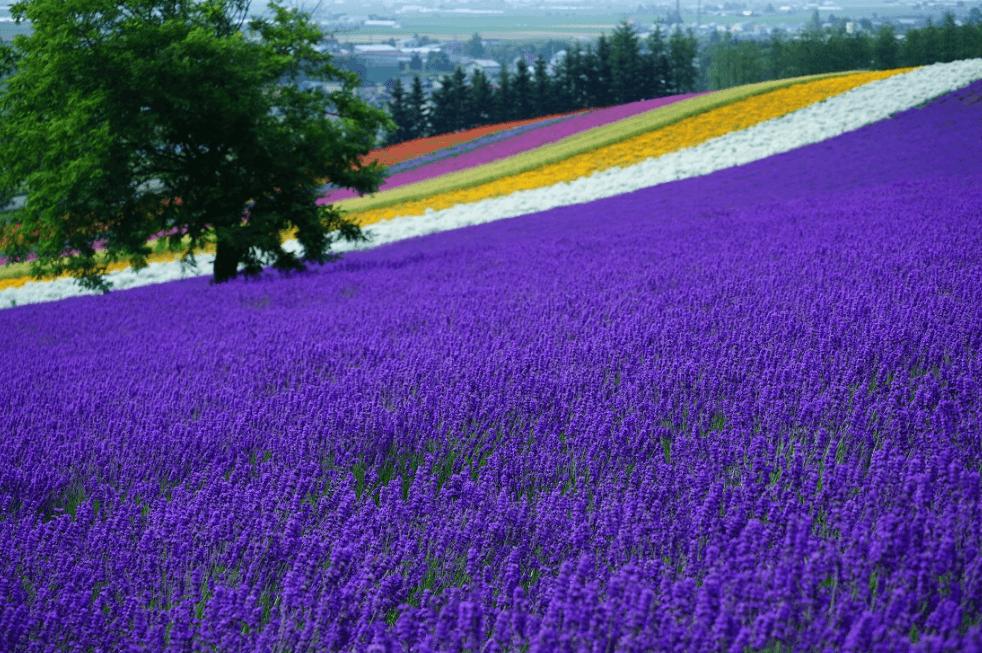 Farm Tomita Jepang di Furano Hokkaido