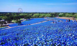Hitachi Seaside Park Jepang, Indahnya Surga Bunga di Ibaraki