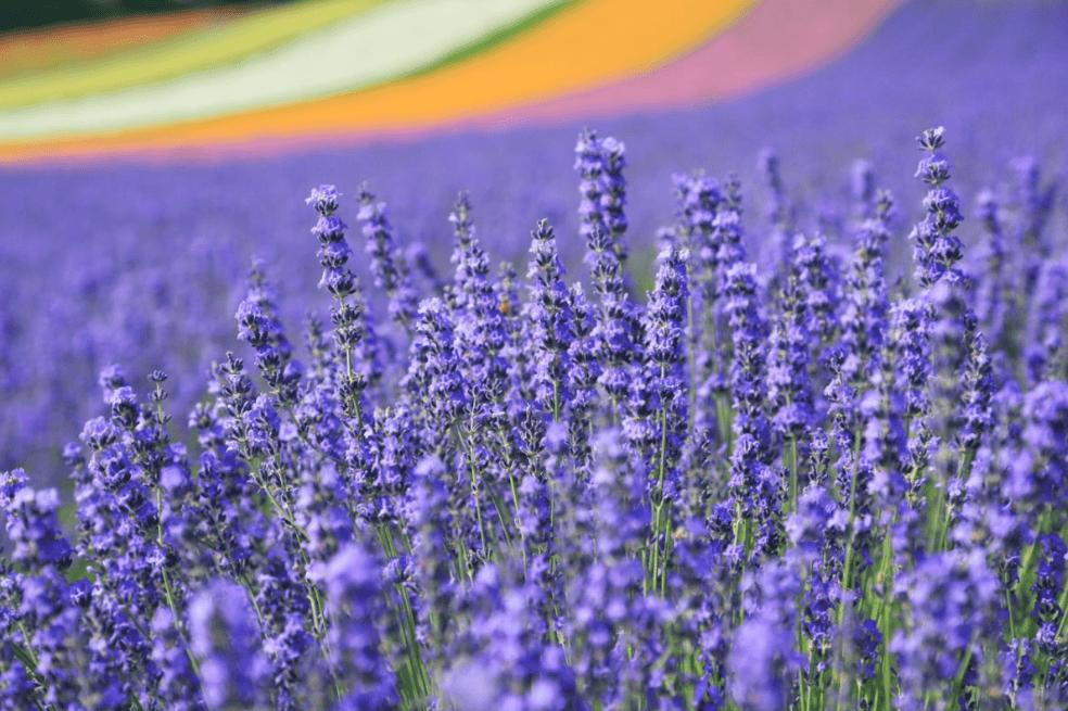 Keindahan hamparan lavender di Jepang