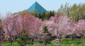 moerenuma park cherry blossom