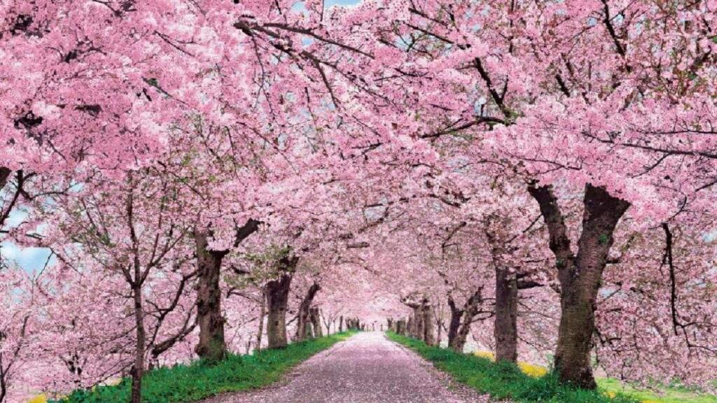 Paket Tour Jepang Spring Musim Semi