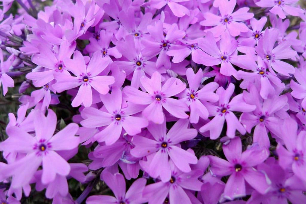 Tentang Bunga Shibazakura