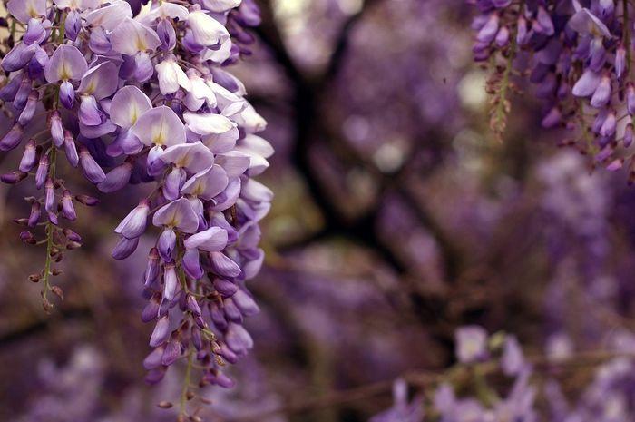 Tentang bunga wisteria