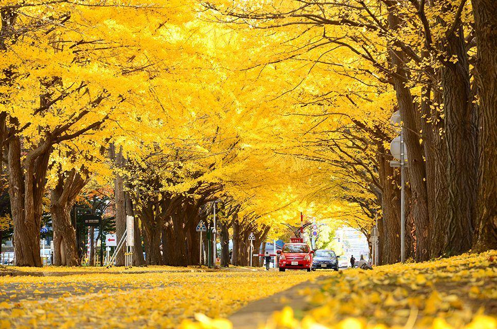Gingko Avenue (Icho Namiki)