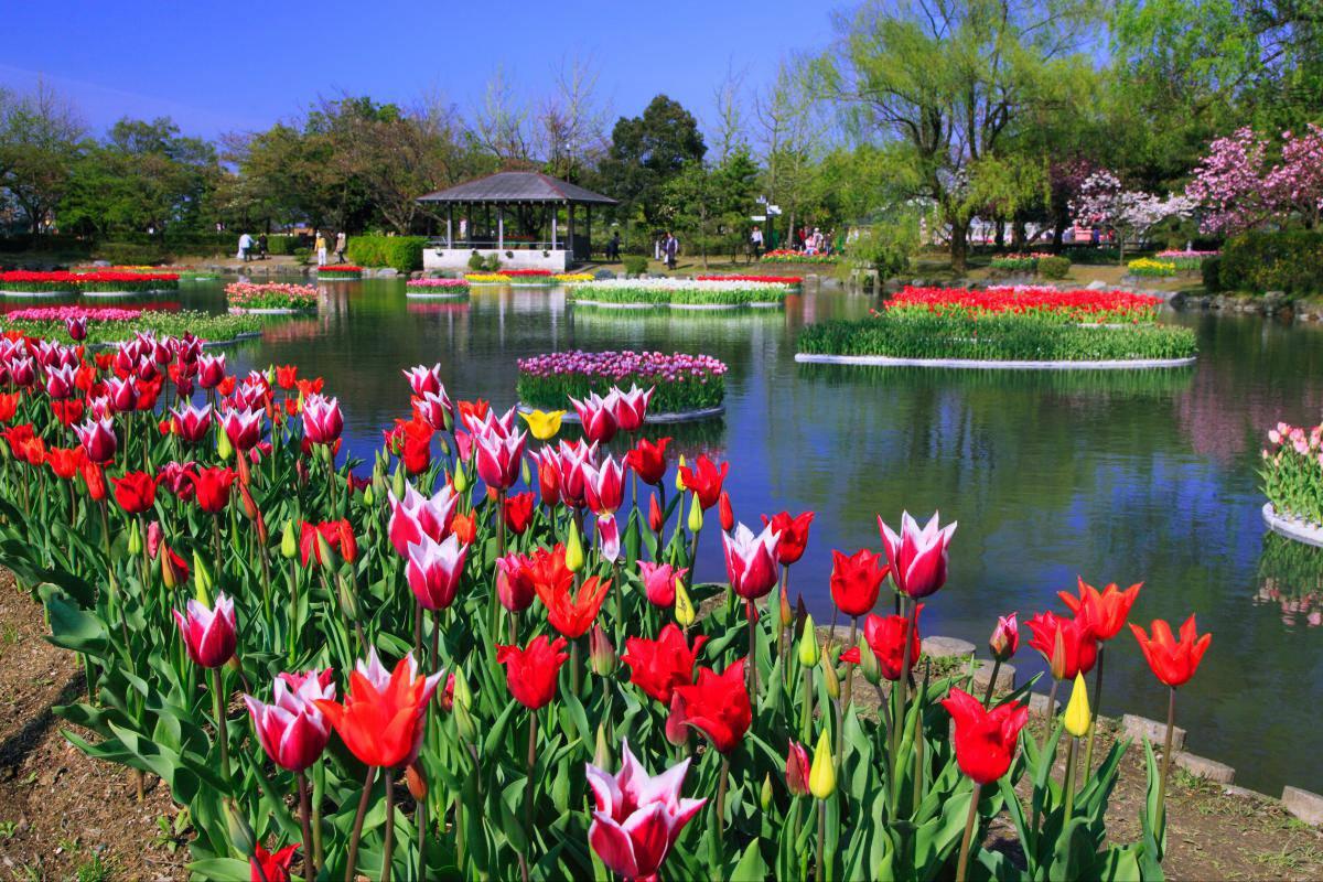 Kebun Tulip Tonami di Toyama Jepang