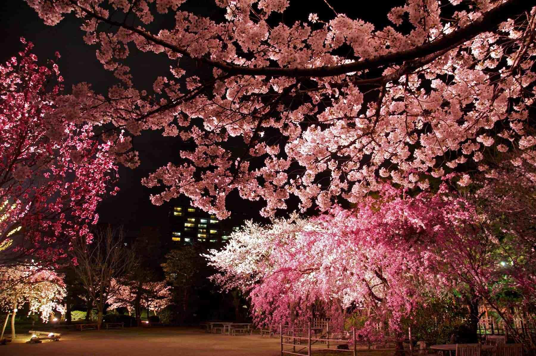 Datangi Sakura Saat Malam Hari