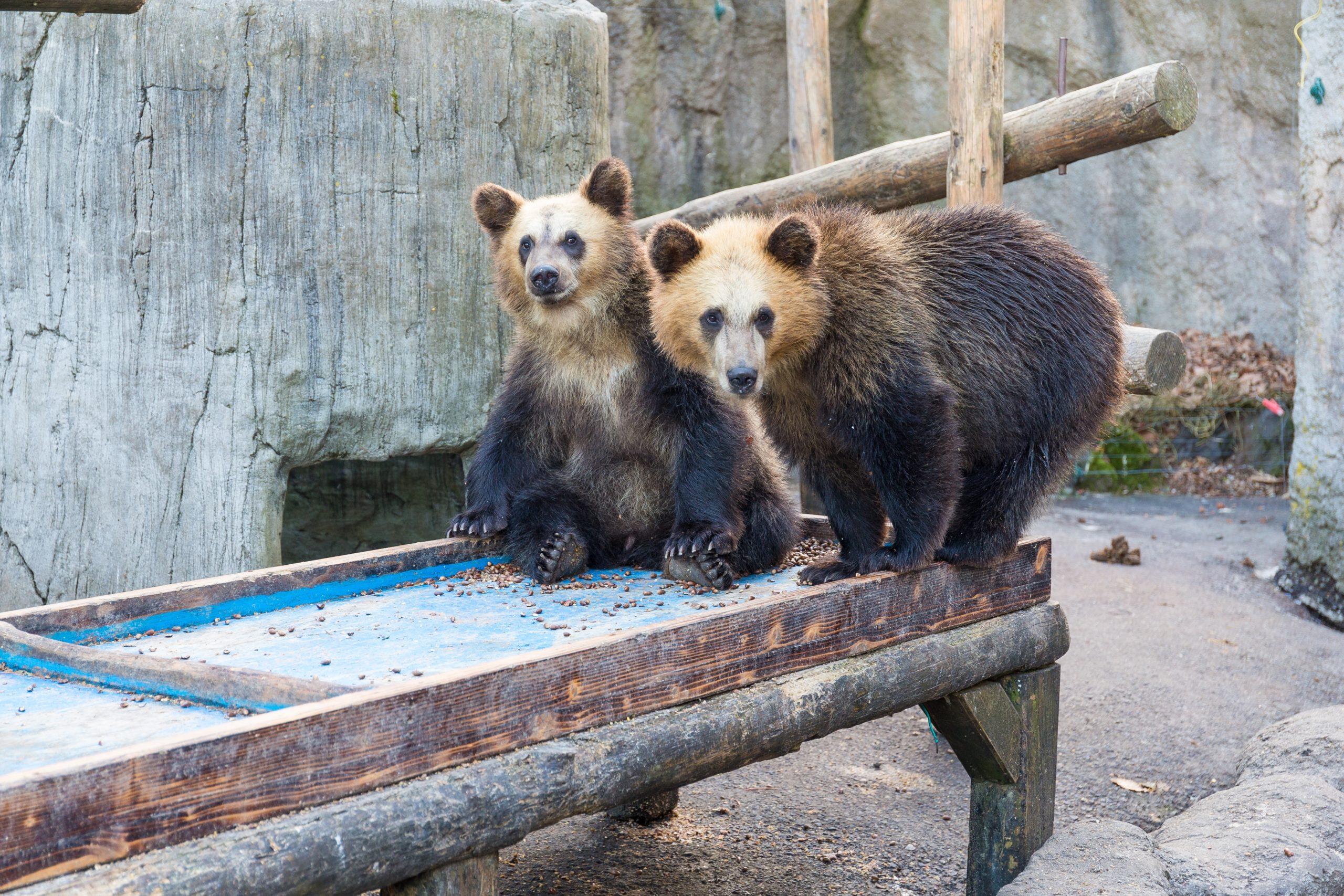 Melihat Beruang Cokelat Hokkadido Lebih Dekat