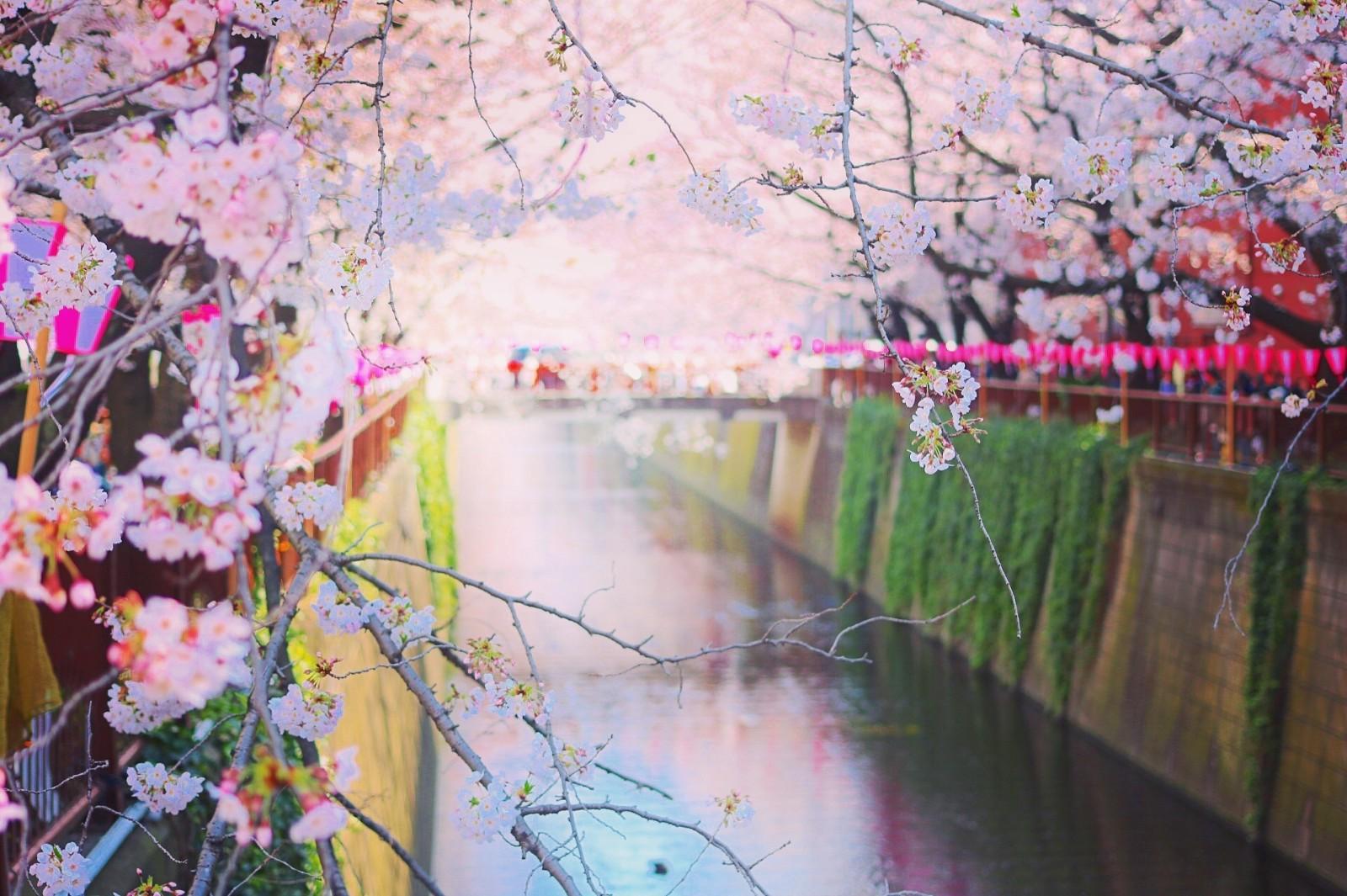 Tempat Terbaik Menikmati Musim Semi di Jepang